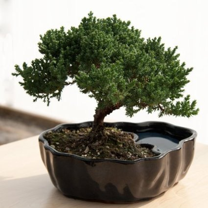 Bonsai plants are used as decorations for the table tops