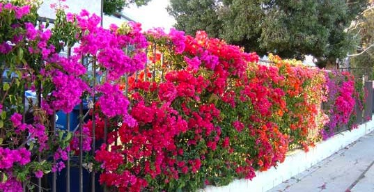 Bougainvillea planted on the rails of this fence